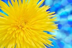 Crisantemo amarillo. Con el camino de recortes. Imagen de archivo libre de regalías