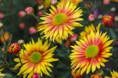 Crisantemo amarillo del flor Fotos de archivo libres de regalías
