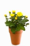Crisantemo amarillo en crisol de arcilla Imagen de archivo libre de regalías
