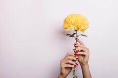 Crisantemo amarillo en manos de una hembra con la manicura roja Fotografía de archivo libre de regalías