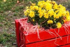 crisantemo amarillo en una caja de madera roja en el jardín Fotografía de archivo libre de regalías