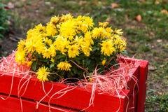 crisantemo amarillo en una caja de madera roja en el jardín Fotos de archivo libres de regalías