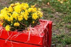 crisantemo amarillo en una caja de madera roja en el jardín Imagen de archivo