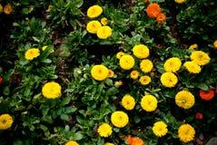 Crisantemo amarillo internacional el campo foto de archivo