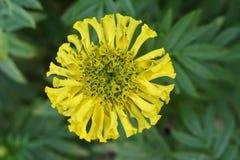 Crisantemo amarillo, poo de Samanthi imagen de archivo