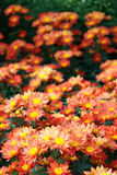 Crisantemo anaranjado Imagen de archivo libre de regalías