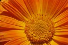 Crisantemo anaranjado Fotos de archivo libres de regalías