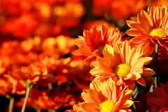 Crisantemo arancio vivo nel fondo di agricoltura del giardino floreale Fotografie Stock