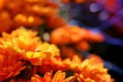 Crisantemo arancio vivo nel fondo di agricoltura del giardino floreale Immagine Stock