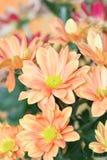 Crisantemo arancione fotografie stock