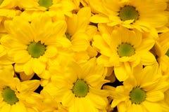 Crisantemo Bacardi soleado Fotografía de archivo