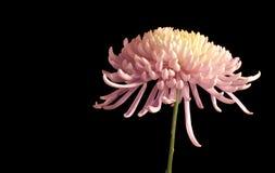 Crisantemo bello Immagine Stock Libera da Diritti