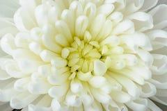 Crisantemo bianco Fotografie Stock Libere da Diritti