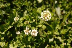 Crisantemo bianco Fotografia Stock