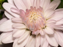 Crisantemo bianco Immagine Stock Libera da Diritti