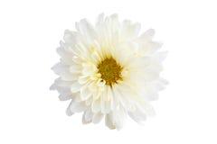 Crisantemo bianco di colore Fotografia Stock Libera da Diritti