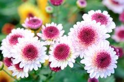 Crisantemo bianco e viola dello spruzzo. Immagini Stock