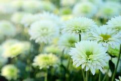 Crisantemo bianco nel fondo di agricoltura del giardino floreale con il fuoco molle Fotografie Stock Libere da Diritti
