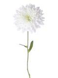 Crisantemo blanco Fotografía de archivo