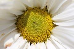 Crisantemo blanco Fotos de archivo libres de regalías