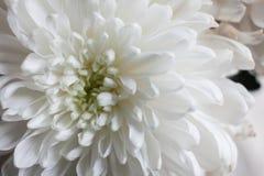 Crisantemo blanco como fondo La flor blanca del crisantemo, primer, macro Cierre de la flor blanca para arriba Foto de archivo