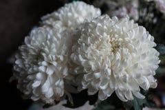 Crisantemo blanco como fondo La flor blanca del crisantemo, primer, macro Cierre de la flor blanca para arriba Fotografía de archivo libre de regalías