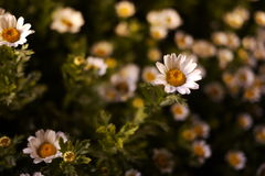 Crisantemo blanco en la noche Foto de archivo libre de regalías