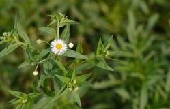 Crisantemo blanco INDICUM Fotografía de archivo