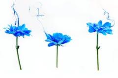 Crisantemo blu dentro l'aster bianco dei fiori del fondo dell'acqua nell'ambito della sfuocatura del vapore del fumo dell'indaco  immagine stock