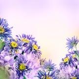 Crisantemo brillante de la primavera fotos de archivo libres de regalías