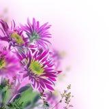 Crisantemo brillante de la primavera, floral fotografía de archivo libre de regalías