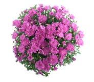 Crisantemo Bush Fotos de archivo libres de regalías