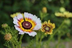Crisantemo carenato Fotografie Stock Libere da Diritti