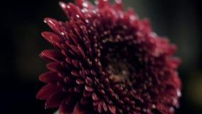 Crisantemo cercano del rojo de vino de la visión en corriente clara almacen de video