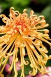 Crisantemo chino Fotografía de archivo
