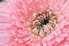 Crisantemo con descensos del agua Fotografía de archivo