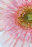 Crisantemo con descensos del agua Fotografía de archivo libre de regalías