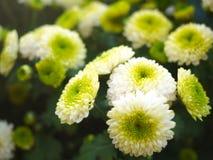 Crisantemo con dimensión de una variable especial Foto de archivo
