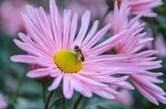 Crisantemo con la abeja Foto de archivo