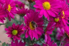 Crisantemo con la abeja Imagenes de archivo