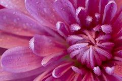 Crisantemo con le goccioline di acqua Macro vista fotografie stock libere da diritti