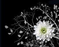 Crisantemo de blanqueo en el fondo del árbol de las ramas Foto de archivo libre de regalías