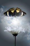 Crisantemo de blanqueo y mariposa darkenning Imágenes de archivo libres de regalías