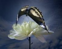 Crisantemo de blanqueo y mariposa darkenning Foto de archivo libre de regalías