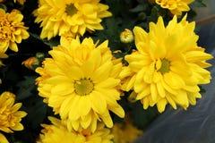 Crisantemo de Bloming Fotos de archivo libres de regalías
