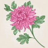 Crisantemo de la flor Stock de ilustración
