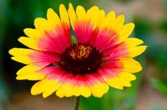 Crisantemo de la madre Foto de archivo
