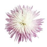 Crisantemo de la momia de la araña Fotos de archivo libres de regalías