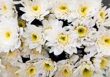 Crisantemo de las flores blancas Fotos de archivo