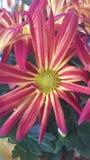 Crisantemo de las momias de la belleza de la caída Imágenes de archivo libres de regalías